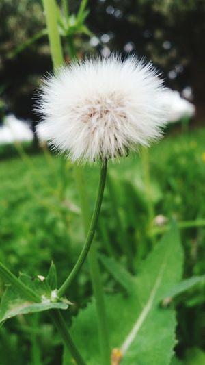 Q Dandelion, Flowers, Flower, Nature, Beauty,