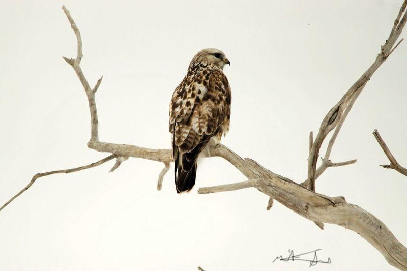 Hawk looking for food.
