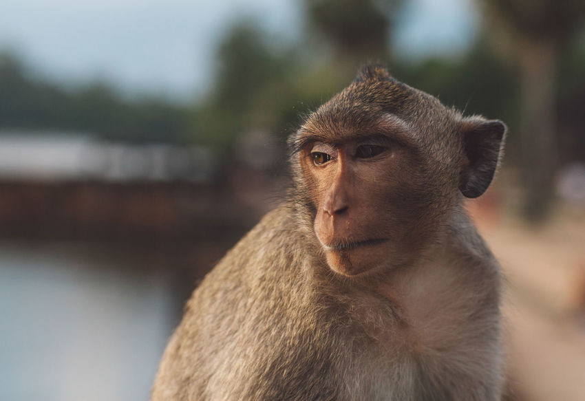 Siem Reap Cambodia Angkor Angkor Wat Angkor Wat, Cambodia Primate Animal Wildlife Animals In The Wild Mammal One Animal Focus On Foreground Looking Vertebrate Looking Away Portrait Day Sitting People Close-up Outdoors Nature Baboon Contemplation