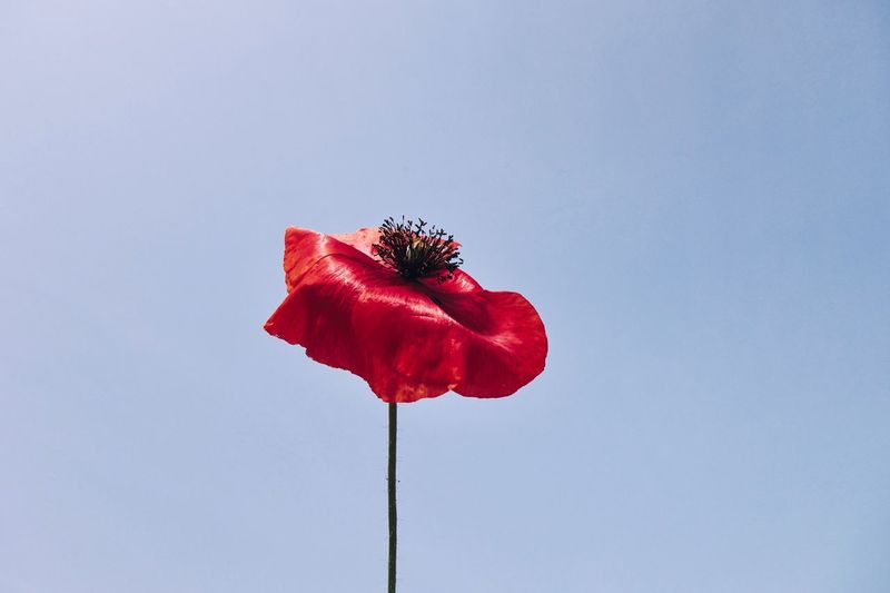Poppy Poppy Flower Red Flower Flowering Plant Beauty In Nature Plant Fragility Vulnerability  Copy Space Sky Inflorescence Petal No People Freshness Outdoors Nature Flower Head Close-up Day The Creative - 2019 EyeEm Awards The Minimalist - 2019 EyeEm Awards