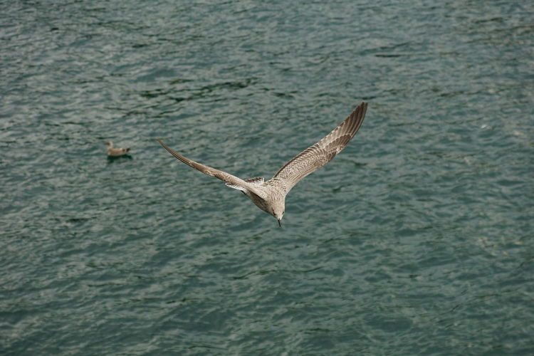 High angle view of herring gull flying over river