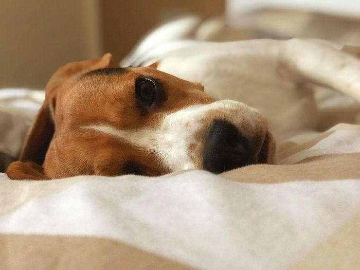 Balu the Beagle Besterhundderwelt Beaglelovers Beagle Pets Domestic Animals Mammal Animal Themes Portrait Beagle Bed Relaxation Day