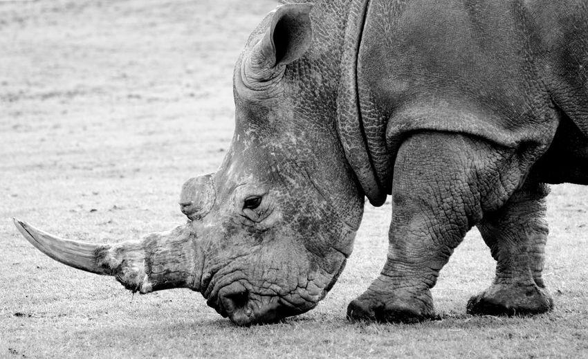 Rhinoceros standing on field