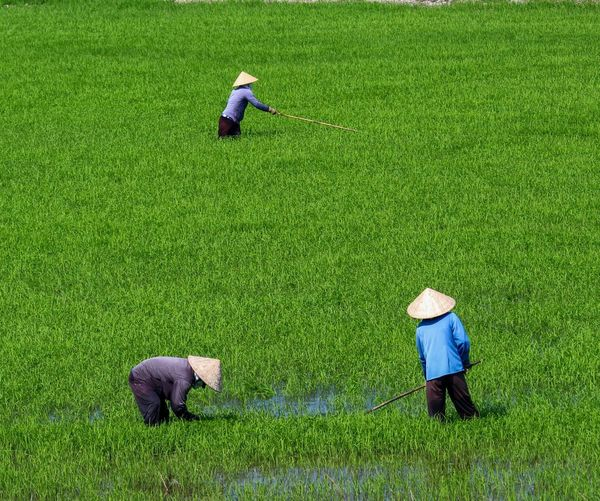 Working Work Workers EyeEm Best Shots Landscape Travel Traveling Landscapes Beauty In Nature Rice Field Landscape_Collection Nature Nature_collection Naturelovers Nature Photography EyeEm Nature Lover Eye4photography  EyeEm Gallery Vietnam Working Full Length Agriculture Field Men High Angle View Rural Scene Farmer Grass Green Color Scenics