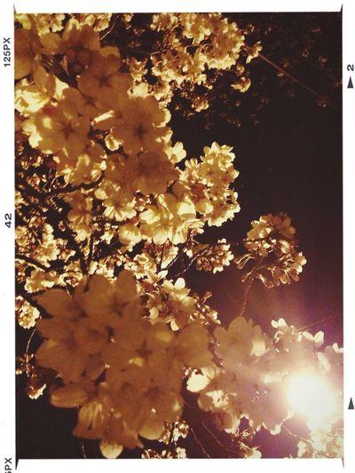 箕面の桜並木、あっという間に咲きました! Flowers