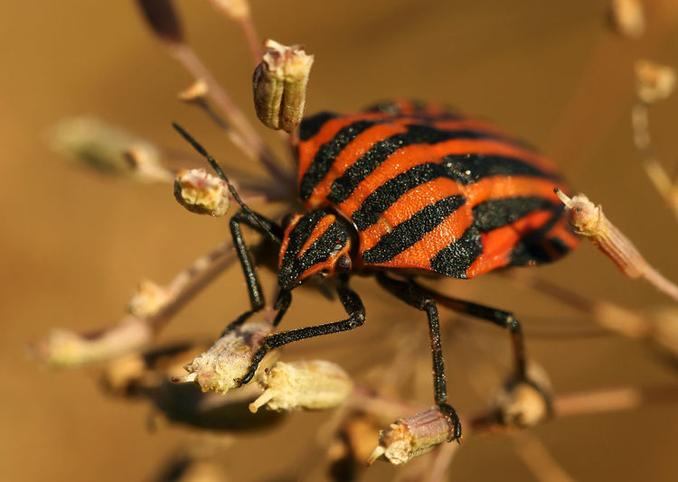 Close-up of shield bug on buds