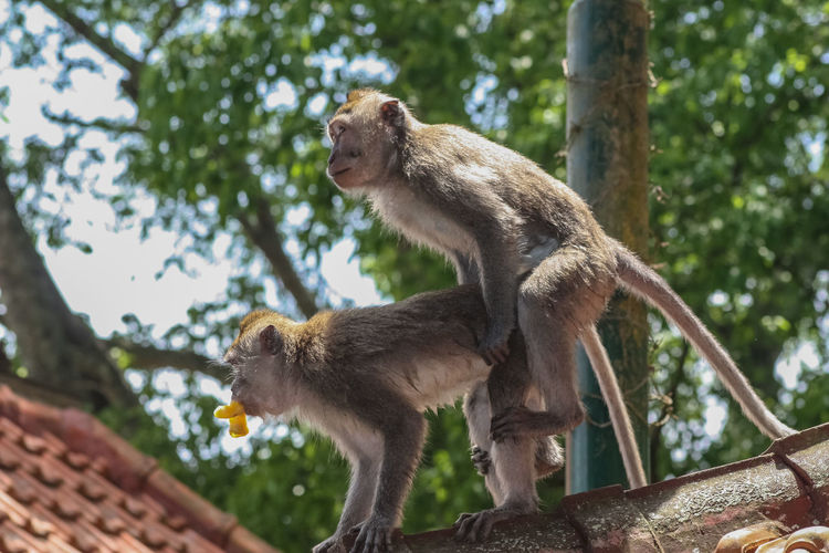 Monkeys Mating On Roof