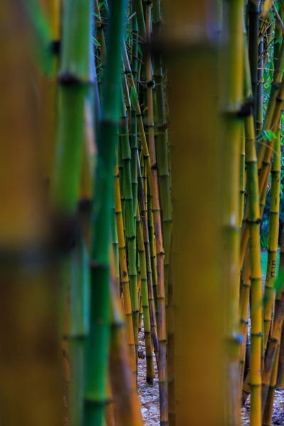 Australia Bamboo Botanical Gardens Brisbane Close-up Colerfull Focus On Foreground Full Frame Green Color Growing In A Row Landscape Landscape_Collection Large Group Of Objects Nature No People Plant Queensland Repetition Selective Focus Vibrant Color