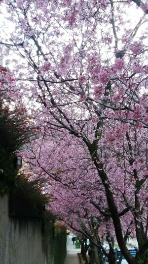 Tree Springtime Branch Blossom Pink Color Flower Beauty In Nature No People Nature Low Angle View Growth Cherrytree Cherry Tree Flowerpower Cherries Cherry Tree Flower Beauty In Nature Cherryblossomfestival Cherry Blossom Viewing