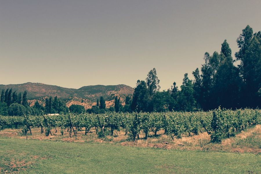 Nature Agriculture Tree Outdoors Plant Beauty In Nature No People Beautiful ♥ The Week On EyeEm Southamerica Holidays Chile Colchagua Viña Escondida Vine 🍷 Vineyard Viña Landscape_photography Vintage Hello World Landscape