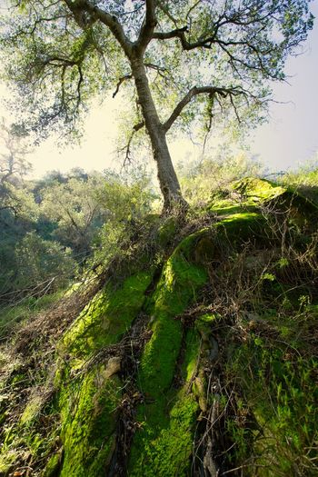 Tree Green Color Nature Growth Low Angle View SkyBeauty In Nature No People Outdoors Day Tranquility Branch Backgrounds Lush - Description Freshness Close-up Willow Tree First Eyeem Photo Moss Mossy Tree Moss-covered Mossy Stone