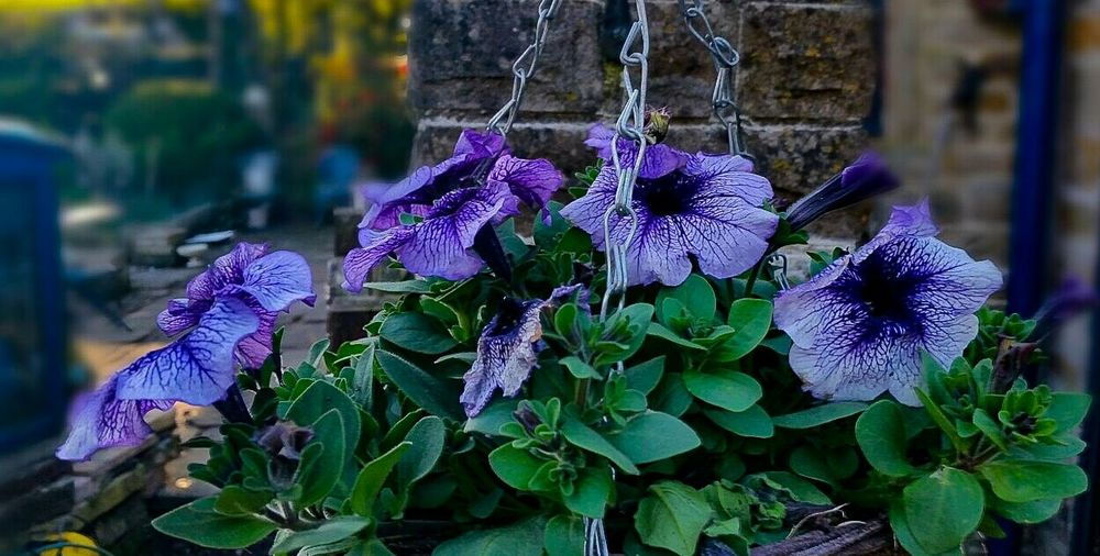 Hangingbasket Pansies Dusk Garden Flowers Quiet Places Silent Relaxing Place Greenery Flowers,Plants & Garden