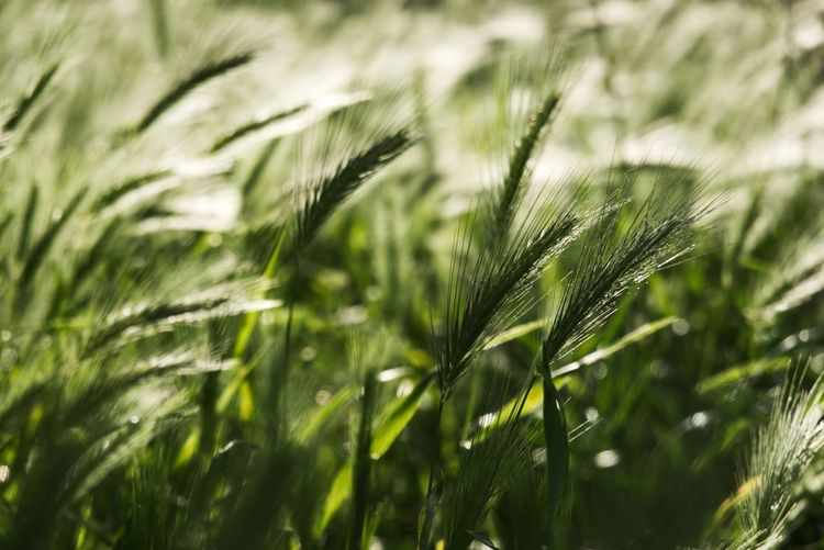 Cereal Plant Growth Plant Green Color Nature Beauty In Nature Day No People Tranquility Selective Focus Focus On Foreground Sunlight Fragility Grass Crop  Close-up Agriculture Land Outdoors Leaf Field