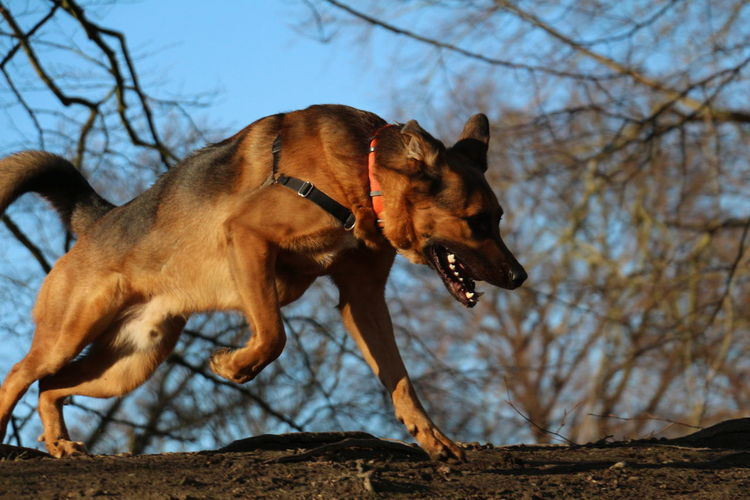 Side view of belgian malinois running against bare trees