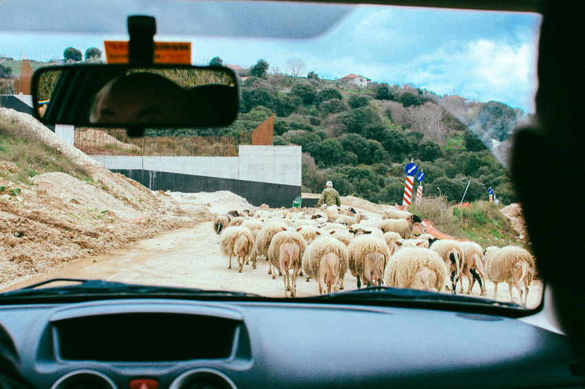 Cars Ranch Ranch Life Animal Themes Car Cow Day Domestic Animals Farm Animal Flock Of Sheep Land Vehicle Large Group Of Animals Livestock Mammal Mountain Nature One Person Outdoors People Real People Sheep Sheep Farm Sheeps Sky Transportation