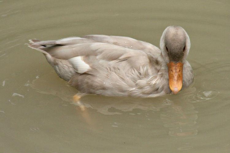 Avian Beak Beauty In Nature Bird Close-up Cool Kids Duck Feathers No People Water Water Bird