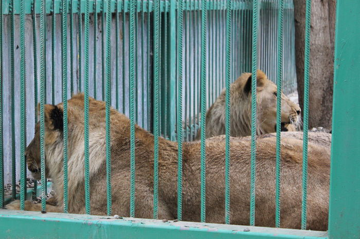 Animal Animal Themes Animals In Captivity Boundary Cage Caged Curiosity Day Domestic Animals Feline Fence Front View Lions Mammal One Animal Outdoors Pets Resting Zoo Zoo Zoology
