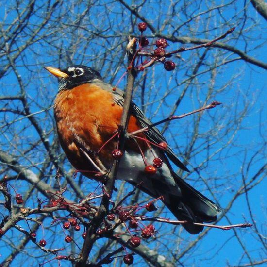 Robin in winter. Nature Perching Branch Beauty In Nature Robin New England  Winter Cambridge MA