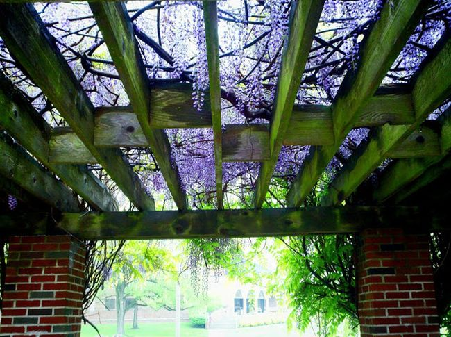 WVSU Campus,The Purist (no Edit, No Filter) Flowerpower I<3 Photography Taking Photos lilac canopy :-)