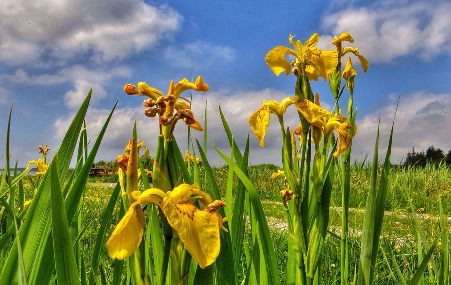 Iris in the meadow. Enjoying Nature Denmark EyeEm Tadaa Community Flowers..