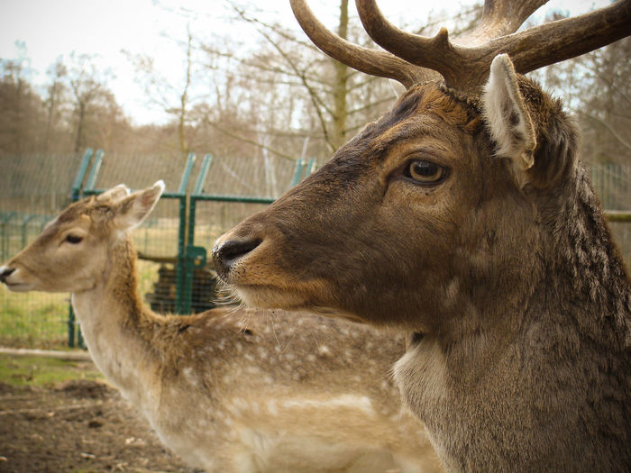Animal Collection Animal Themes Animals In The Wild Antler Couple Day Deer Mammal Moritzburg  Nature No People Outdoors Pair Stag Sunny Day