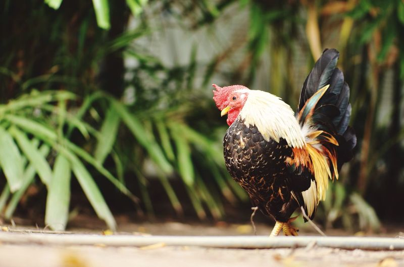 Bantam roster in sunshine day Chicken - Bird Rooster Livestock Bird Domestic Animals One Animal Animal Themes Cockerel Focus On Foreground No People Animal Crest Day Outdoors Nature Close-up Roosters Bantam