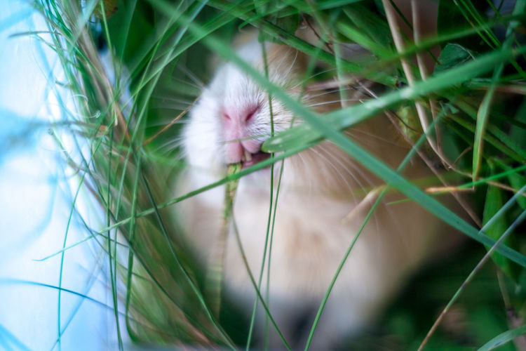 Close-up of guinea pig eating grass