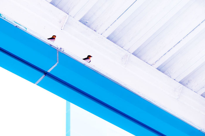 Two birds resting on the roof's inner structure Apart Birds Blue Blue And White Clean Conceptual Contrast Cool Color Copy Space Freedom Love Birds Messenger Modern Outdoors Peace Peaceful Perspective Quiet Moments Relationship Resting Symbolism Two Birds Two Birds Talking To Each Other White Philippines Neon Life Breathing Space Colour Your Horizn Stories From The City Inner Power Visual Creativity This Is Family The Photojournalist - 2018 EyeEm Awards The Creative - 2018 EyeEm Awards The Architect - 2018 EyeEm Awards