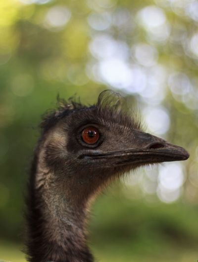 Bird Animal Themes Animals In The Wild One Animal Focus On Foreground Animal Wildlife Close-up Outdoors Nature Emu Kopf Tier Auge Schnabel Pet Portraits