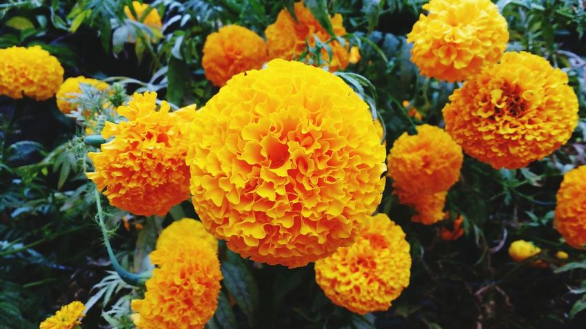 Flower Growth Nature Beauty In Nature Flower Head Outdoors Yellow Freshness Marigold Popular Photos Taking Photos Orange Color EyEm Bestseller Eyem Gallery Be. Ready. Beauty In Nature Nature Sunlight Botany Eyemphotos Eyembestpics Macro Photography Plant Plant Part