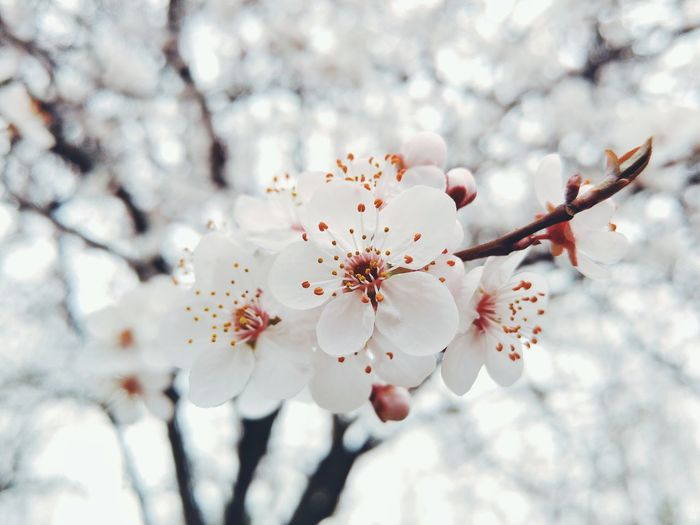Low Angle View Of White Cherry Blossoms