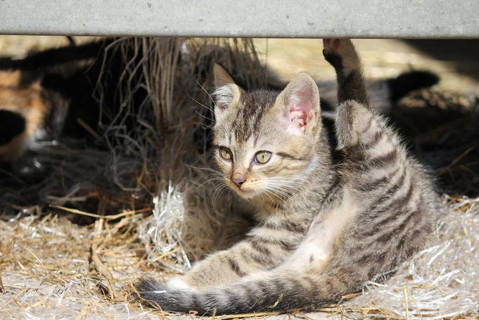 Little Kitten Washing Cleaning Straw Tiger Cat Farm
