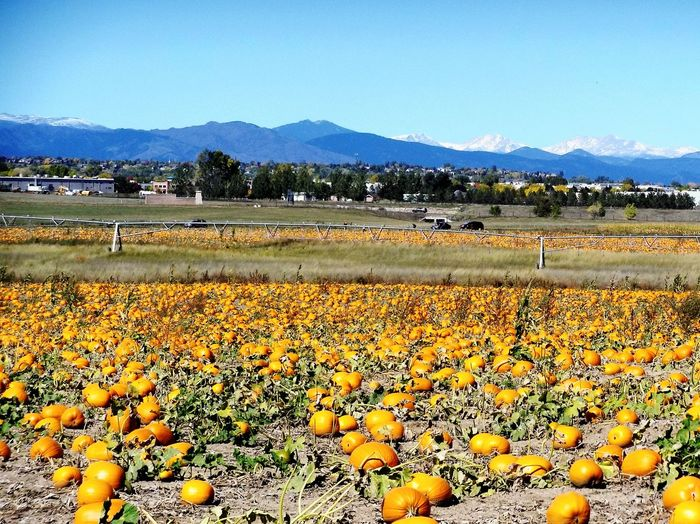 Oh the pumpkin patch! Agriculture Landscape Crop  Abundance Outdoors No People Pumpkin Pumpkinpatch Pumpkin!Pumpkin! PumpkinPatch🎃 Broomfield Colorado Flatirons Boulder Colorado Fall Colors Fall Lost In The Landscape