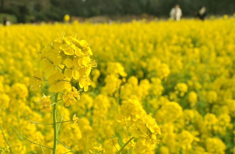 Abundance Agriculture Beauty In Nature Crop  Day Farm Field Flower Flowerbed Flowering Plant Fragility Freshness Growth Land Landscape Nature No People Oilseed Rape Outdoors Plant Rural Scene Springtime Vulnerability  Yellow