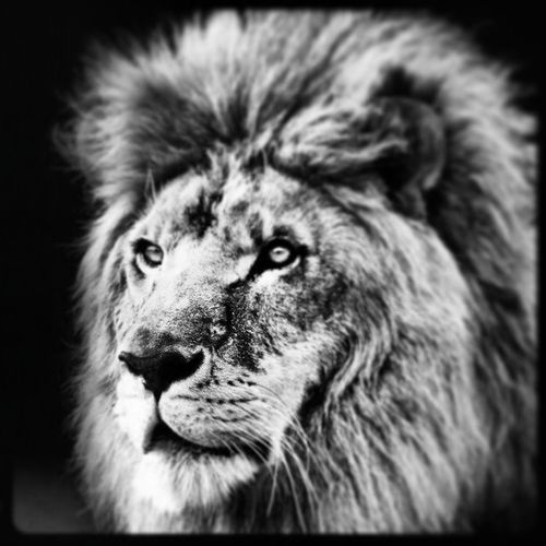 Life is a jungle and I am predator not pray,I'm at the top of the food chain I am a lion and you are my gazelle Lion Predtor