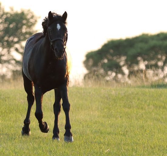 Black horse Star Halter Horse Running Pasteur Outdoors Agriculture Pets Horse Farm