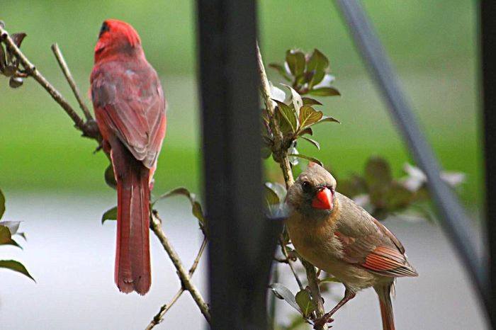 EyeEm Selects Bird Perching Animal Wildlife Animals In The Wild Animal Themes Red Nature Focus On Foreground No People One Animal Day Tree Beauty In Nature Outdoors Branch Close-up Cardinal - Bird Redbird Pair