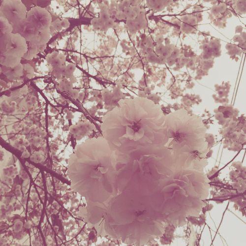 Cherry Blossoms Sakura Tokyo Japan Japanese Culture Spring Spring Flowers Pink Pink Flowers First Eyeem Photo