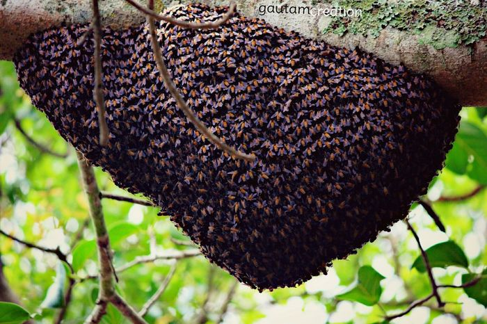 Cannon600d 250mmlens Wildlife Wildlifephotography Nature Love Honeybees Honey Insect Beehive Summer Natural Trucking Goodvibes Honeyhome Savethebee Honeycomb Followme Zoo Bangalore Bees Flower Wildlife Nature Honey's Love