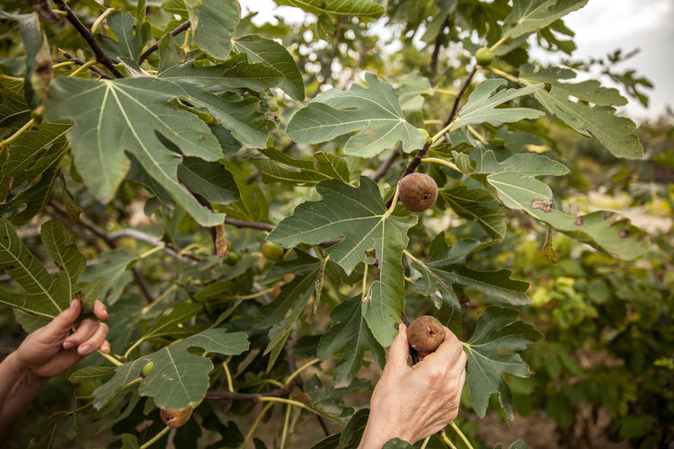 Cropped Hand Picking Fig From Branch