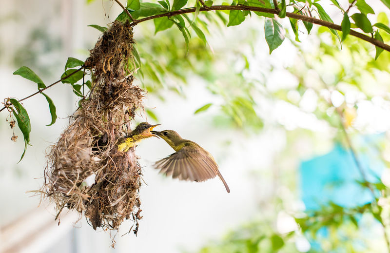 Feeding  Feeding Animals Olive-backed Sunbird Animal Animal Themes Animal Wildlife Animals In The Wild Bird Branch Day Feed  Feeding Birds Feeding The Birds Flying Focus On Foreground Low Angle View Mid-air Nature No People One Animal Outdoors Plant Spread Wings Tree Vertebrate