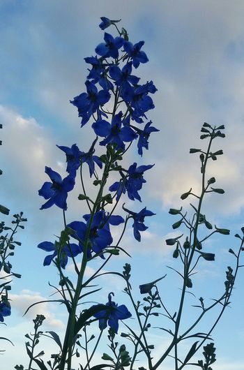 Flowers, Nature And Beauty Naturlover Rittersporn 🍀 EyeEm Nature Lover Taking Photos Iphonephotography Garden Photography Flowers_collection Hello World Blue Flowers Eyemphotography Outdoor Clouds And Sky