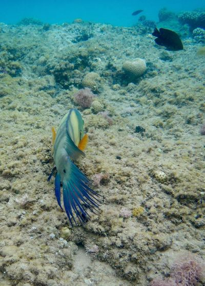 Animal Themes Blue Nature Beauty In Nature Outdoors Day Zoology Non-urban Scene Tranquility Scenics Tranquil Scene Fragility Fish Underwater Sea Red Sea No People Cheilinus Lunulatus Broomtail Wrasse Animals In The Wild Coral Coral Reef