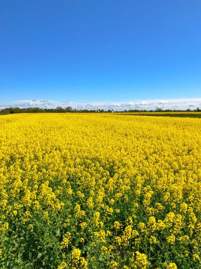 Field Colza Rapeseed Yellow Nature Sky Horizon Blue Beauty In Nature Scenics - Nature Landscape Tranquility Land Flower Tranquil Scene Plant Rural Scene Agriculture Oilseed Rape Environment Growth Day Idyllic No People Outdoors
