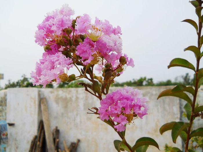 Pink Color Blossom Purple Close-up Springtime Flower Head Freshness