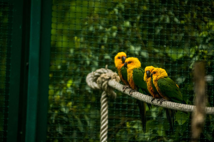 Animal Bird Animal Themes Animal Wildlife Vertebrate Parrot Animals In The Wild Perching Group Of Animals Yellow No People Focus On Foreground Cage Day Animals In Captivity Nature Outdoors Branch Parakeet