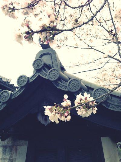 Enjoying Life Taking Photos Cherry Blossoms Shrine