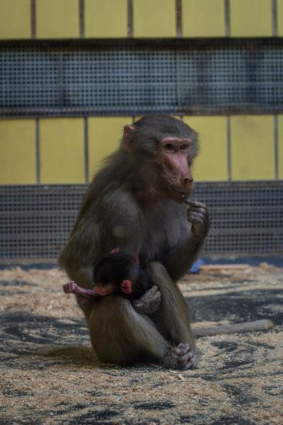 Animal Themes Baboon Baboon Baby Baboon Portrait Monkey Monkeys Primate Zoo Zoo Animals  ZooLife Zoology Zoophotography