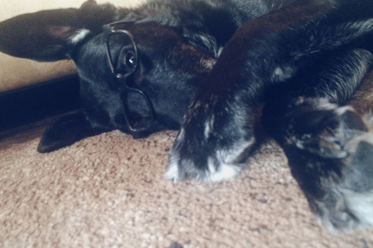 Black Dog Black Glasses Iphoneonly Goofy Silly Dog Portrait Black Lab Vision Animal Wearing Glasses EyeEmFiveSenses Sight Indoors  Domestic Animal