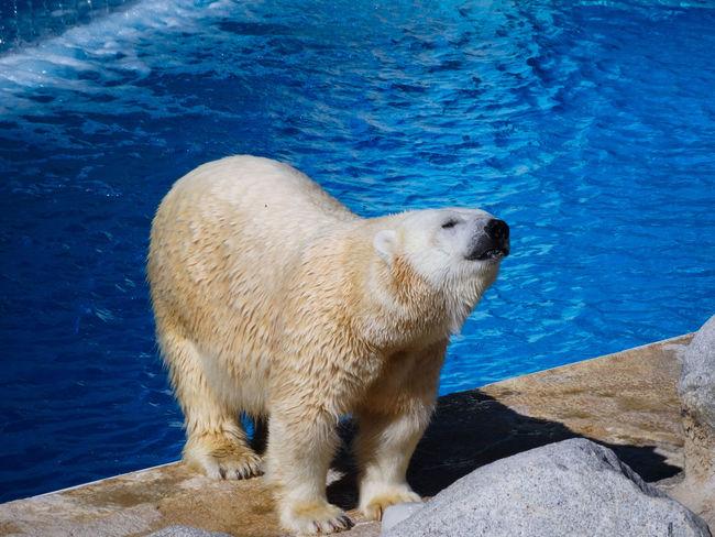 Polar Bear Wild Animal Animal Animal Themes Animal Wildlife Animals In The Wild Day High Angle View Mammal Nature No People One Animal Polar  Polar Bear Polar Bears Polar Climate Sea Water White Bear Wildlife